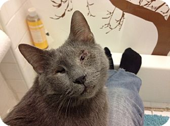 Russian Blue Cat for adoption in Brooklyn, New York - Annie