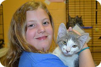 Domestic Shorthair Kitten for adoption in Elyria, Ohio - Daisy