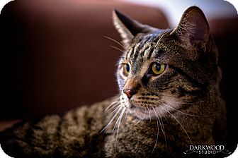 Domestic Shorthair Cat for adoption in St. Louis, Missouri - **Walter**