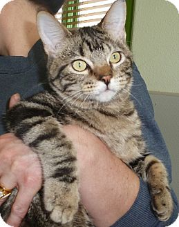 Domestic Shorthair Cat for adoption in Pueblo West, Colorado - Boxster