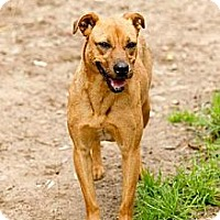 Labrador Retriever Mix Dog for adoption in Conway, South Carolina - Luz