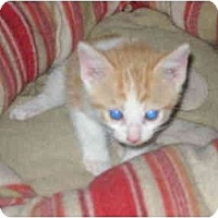Adopt A Pet :: baby kitten - Etobicoke, ON