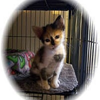 Adopt A Pet :: Whisper - Shelton, WA