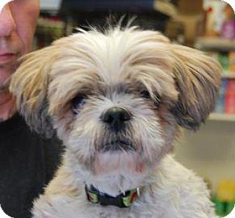 Shih Tzu Mix Dog for adoption in Brooklyn, New York - Almond
