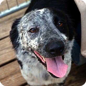 Border Collie Dog for adoption in Garland, Texas - Wrangler