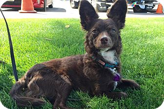 Pomeranian/Terrier (Unknown Type, Small) Mix Dog for adoption in Los Angeles, California - Batty