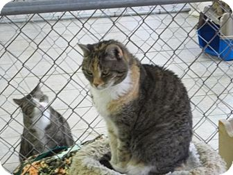 Domestic Shorthair Cat for adoption in East Smithfield, Pennsylvania - Jamie