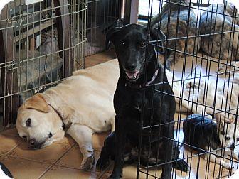 Labrador Retriever/Hound (Unknown Type) Mix Dog for adoption in Pomerene, Arizona - Iris