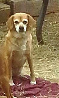 Spaniel (Unknown Type) Dog for adoption in San antonio, Texas - Sarina
