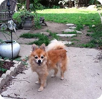 Pomeranian Dog for adoption in Buffalo, New York - Vincent