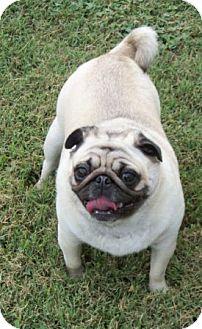 Pug Mix Dog for adoption in Rockville, Maryland - Lil-Bit