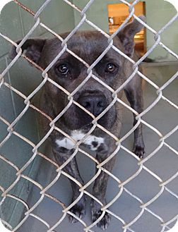 Pit Bull Terrier Mix Dog for adoption in Brooksville, Florida - TEE C