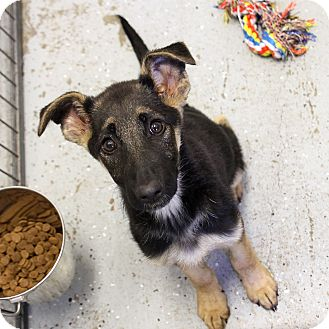German Shepherd Dog Mix Puppy for adoption in Sacramento, California - Marylou and Mirabell!