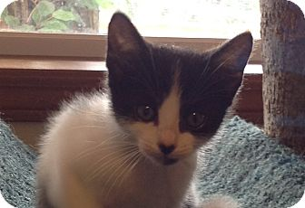 Domestic Mediumhair Kitten for adoption in Eureka, California - Seven of Seven