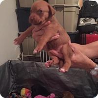 Adopt A Pet :: Francesca - Burlington, NJ