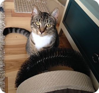 Domestic Shorthair Cat for adoption in Cincinnati, Ohio - Bootsy