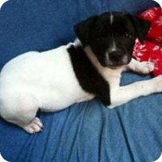 Bulldog/Labrador Retriever Mix Puppy for adoption in Houston, Texas - DJ
