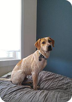 English (Redtick) Coonhound Mix Dog for adoption in Pittsboro, North Carolina - Campbell