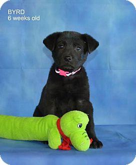 Labrador Retriever/Shepherd (Unknown Type) Mix Puppy for adoption in Yreka, California - Byrd