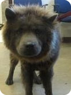 Chow Chow Dog for adoption in Weatherford, Texas - Baloo