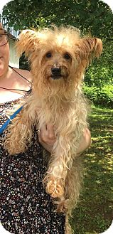 Silky Terrier/Poodle (Miniature) Mix Dog for adoption in Allentown, Pennsylvania - Benji