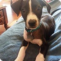 Adopt A Pet :: Luna Loo - Homewood, AL