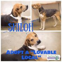 Adopt A Pet :: Shiloh - Lihue, HI