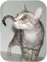 Bengal Cat for adoption in Dallas, Texas - Silver Leigh