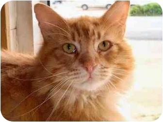Domestic Mediumhair Cat for adoption in Arkadelphia, Arkansas - Sherman