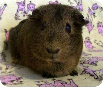 Guinea Pig for adoption in Latrobe, Pennsylvania - Taylor
