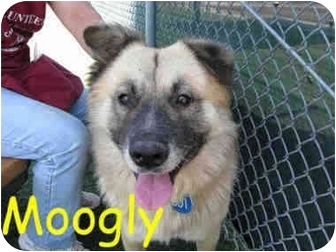 German Shepherd Dog Mix Dog for adoption in Vista, California - Moogly