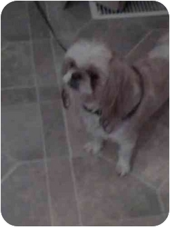 Shih Tzu Dog for adoption in Meridian, Idaho - Anna