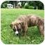 Photo 2 - Boxer Mix Puppy for adoption in Seneca, South Carolina - PIPER