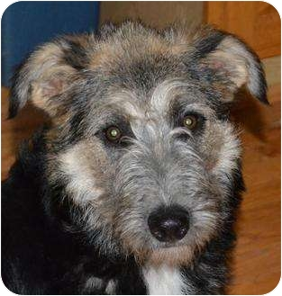 German Shepherd Dog/Irish Wolfhound Mix Puppy for adoption in through transport, Pennsylvania - Celia-pending
