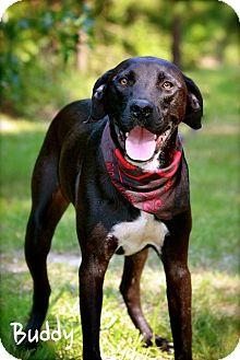 Great Dane/Labrador Retriever Mix Dog for adoption in Wilmington, Delaware - Buddy