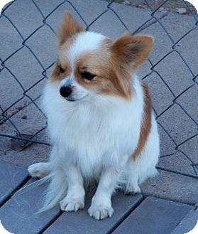 Pomeranian/Papillon Mix Dog for adoption in San Angelo, Texas - Prissy