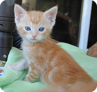 Domestic Shorthair Kitten for adoption in Palmdale, California - Rusty
