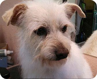 Westie, West Highland White Terrier/Yorkie, Yorkshire Terrier Mix Dog for adoption in Seattle, Washington - Bandit