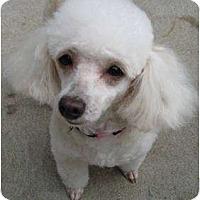 Adopt A Pet :: Sourie (pronounced Surrey) - Dover, MA