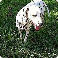 Adopt A Pet :: Dotty - League City, TX