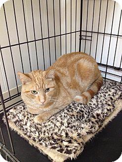 Domestic Shorthair Cat for adoption in Webster, Massachusetts - Charlie