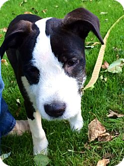 Wirehaired Fox Terrier/American Pit Bull Terrier Mix Puppy for adoption in Battle Ground, Washington - Beasley