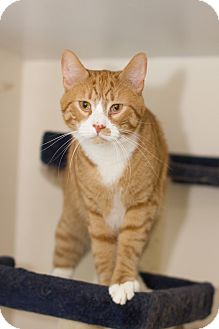 Domestic Shorthair Cat for adoption in Chicago, Illinois - Hennessey