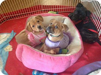 Jack Russell Terrier Mix Puppy for adoption in Anoka, Minnesota - Annastasia