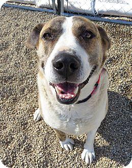 St. Bernard Mix Dog for adoption in Meridian, Idaho - Marley