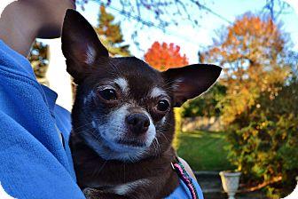 Chihuahua Mix Dog for adoption in Wheaton, Illinois - Sadie
