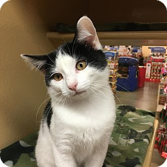 Domestic Shorthair Kitten for adoption in Statesville, North Carolina - Scout II