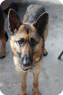 German Shepherd Dog Dog for adoption in Alameda, California - Caliote