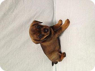 Dachshund/Labrador Retriever Mix Puppy for adoption in House Springs, Missouri - Molly