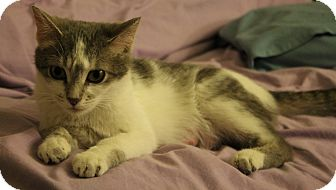 Domestic Shorthair Cat for adoption in Chicago, Illinois - Francis